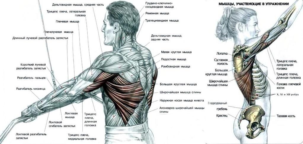 Активные мышцы при выполнении пуловера на блоке