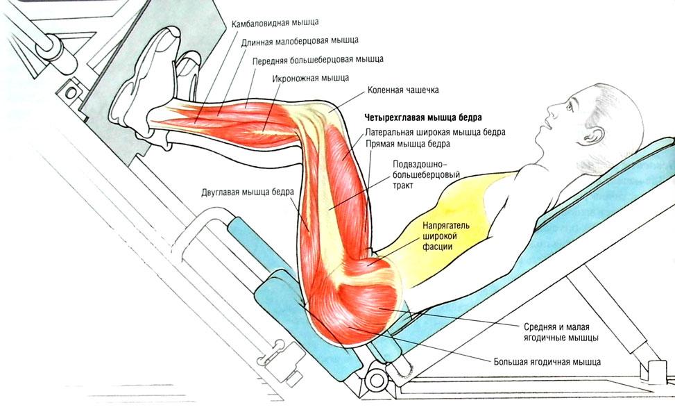 Расположение мышечных групп