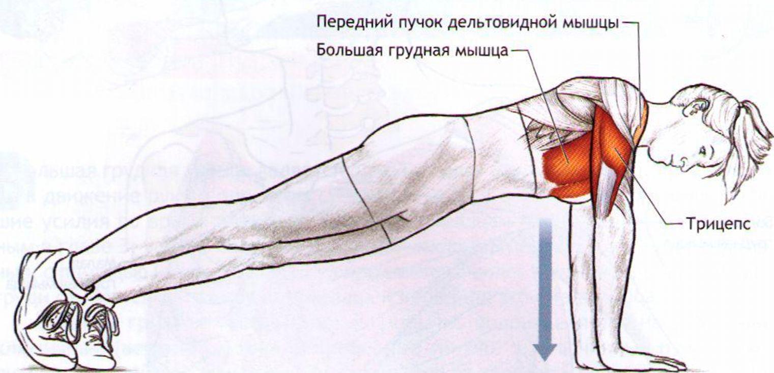 Мышцы корпуса, участвующие в отжимании