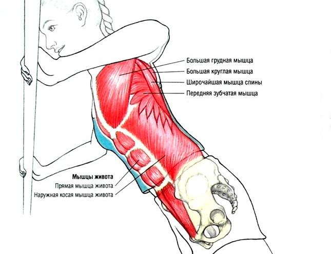 Мышечный атлас