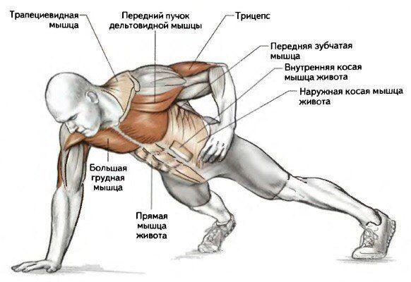 Мышцы, работающие при отжимании на одной руке