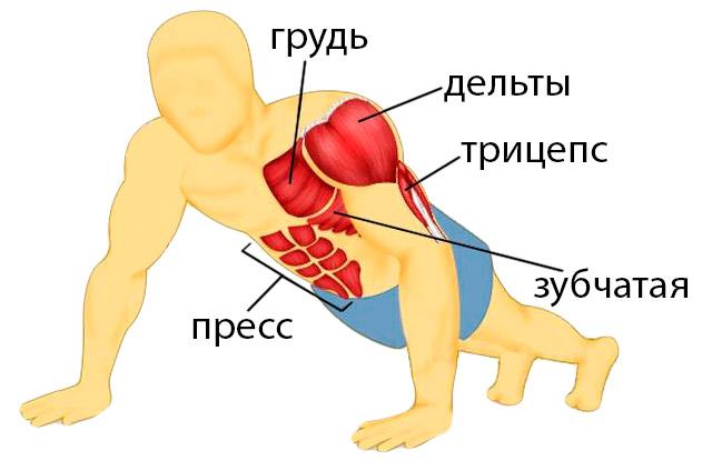Расположение мышц на теле