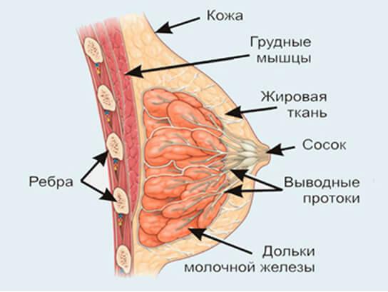 Анатомия женской груди