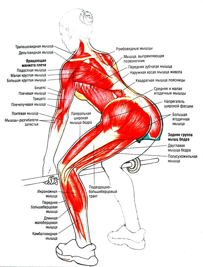 Анатомический атлас становой тяги