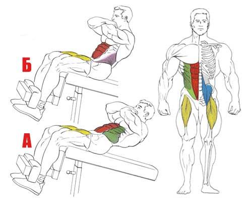 Мышцы, работающие при скручивании и подъёме корпуса на наклонной скамье.