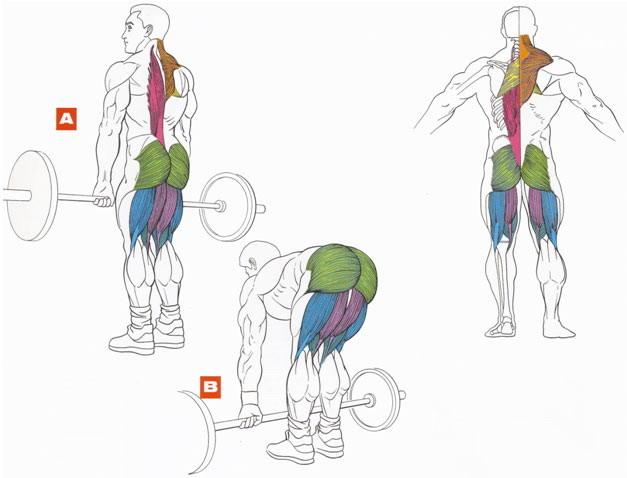 Мышцы, работающие при выполнении упражнения становая тяга