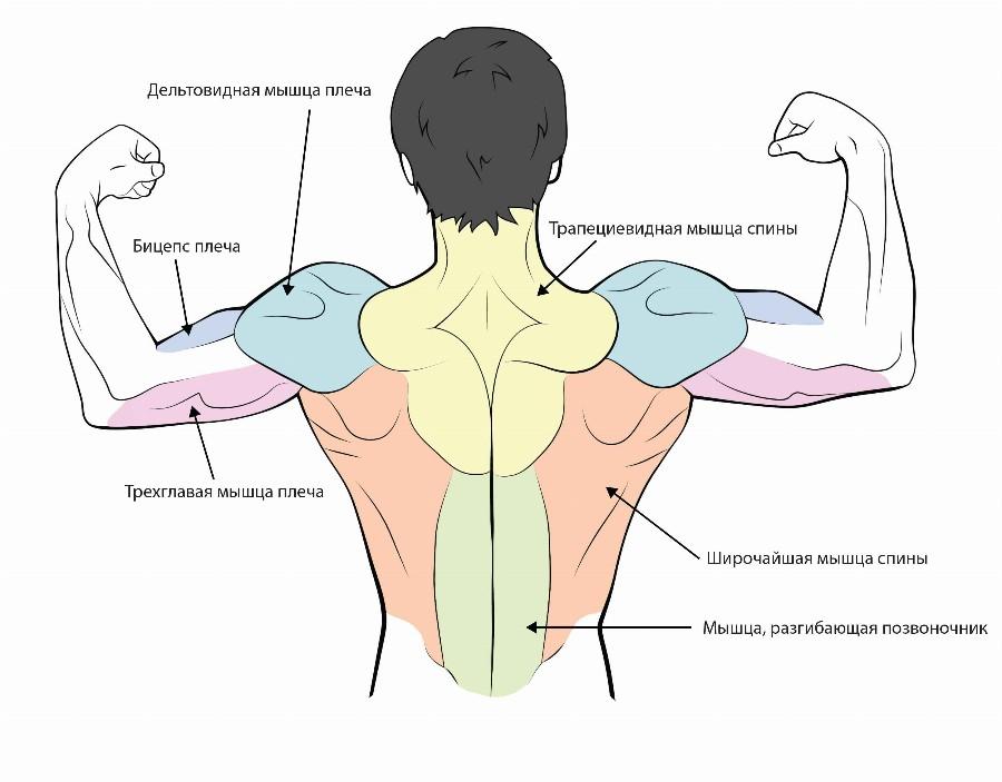 Мышцы спины.
