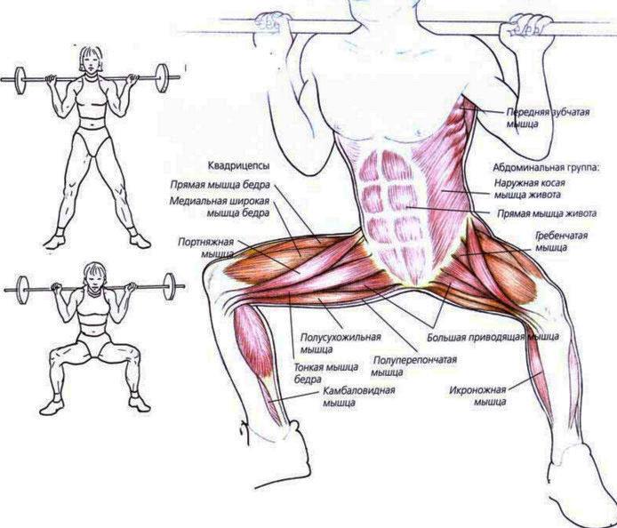 Мышцы, участвующие в приседаниях сумо.