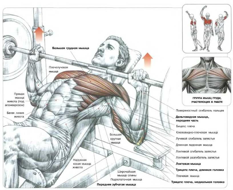 Мышцы, задействованные при жиме на наклонной скамье (голова вверх)