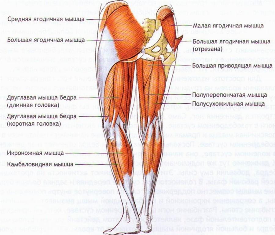 Мышцы задней поверхности ног.