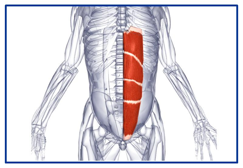 Передняя мышца живота