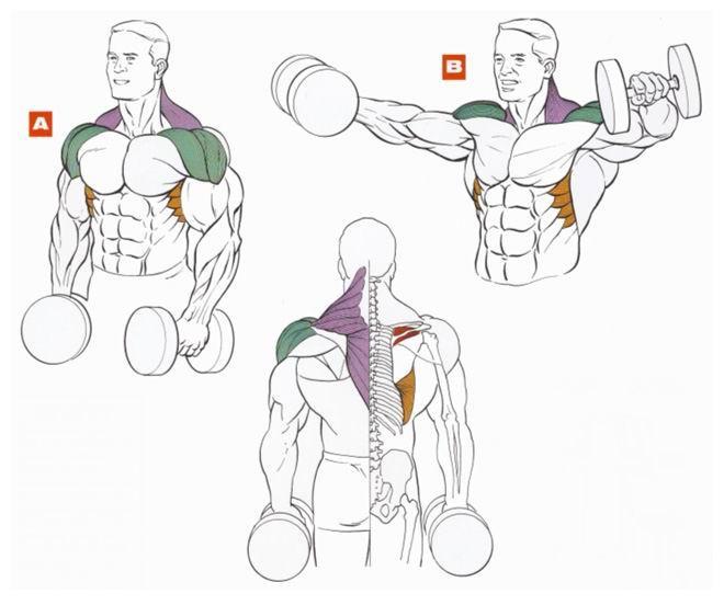 Подъёмы с гантелями — активные мышцы