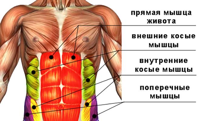 Строение мышц пресса