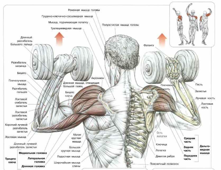 Жим гантелей для развития плеч