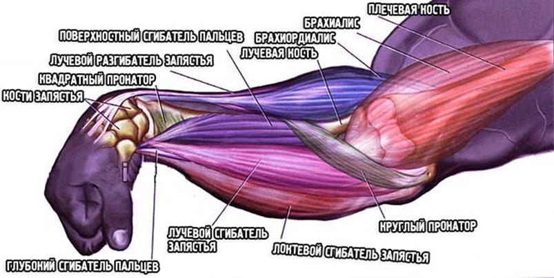 Анатомия предплечий