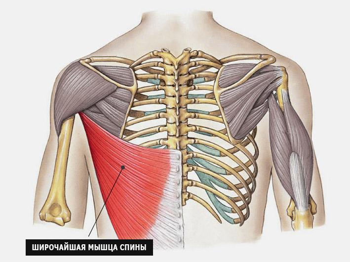 Широчайшая мышца