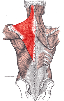 Трапециидальные мышцы