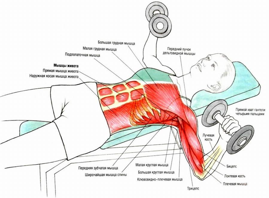 Анатомия жима гантелей