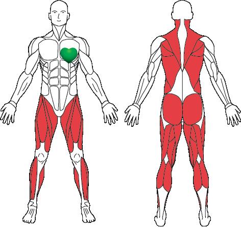Ходьба — мышечный атлас