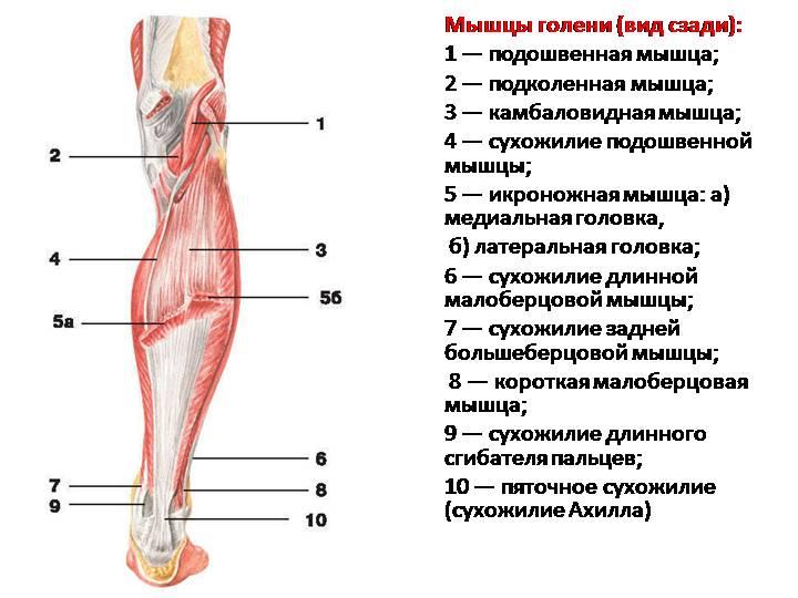 Мышцы голени сзади