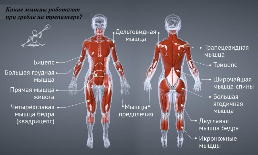 Мышечный атлас упражнения «гребля»