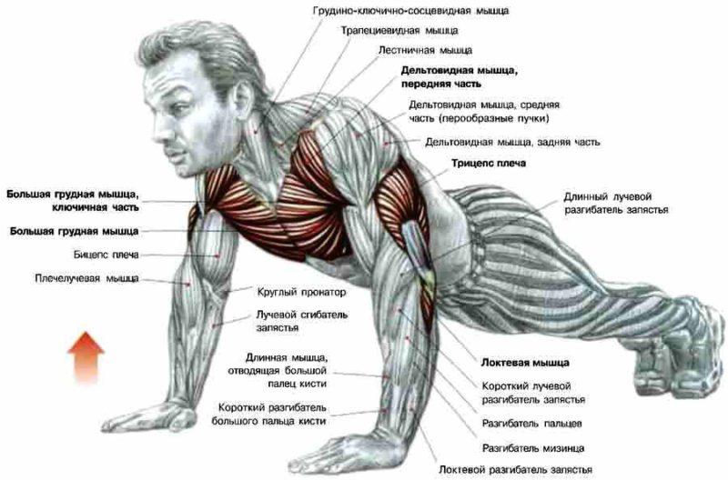 Работа мышц при отжиманиях
