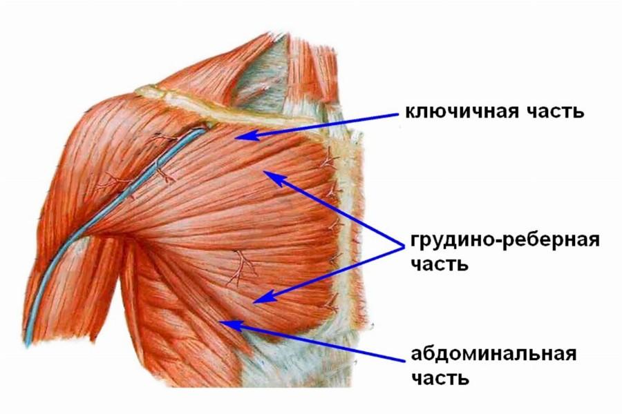 Строение большой грудной мышцы